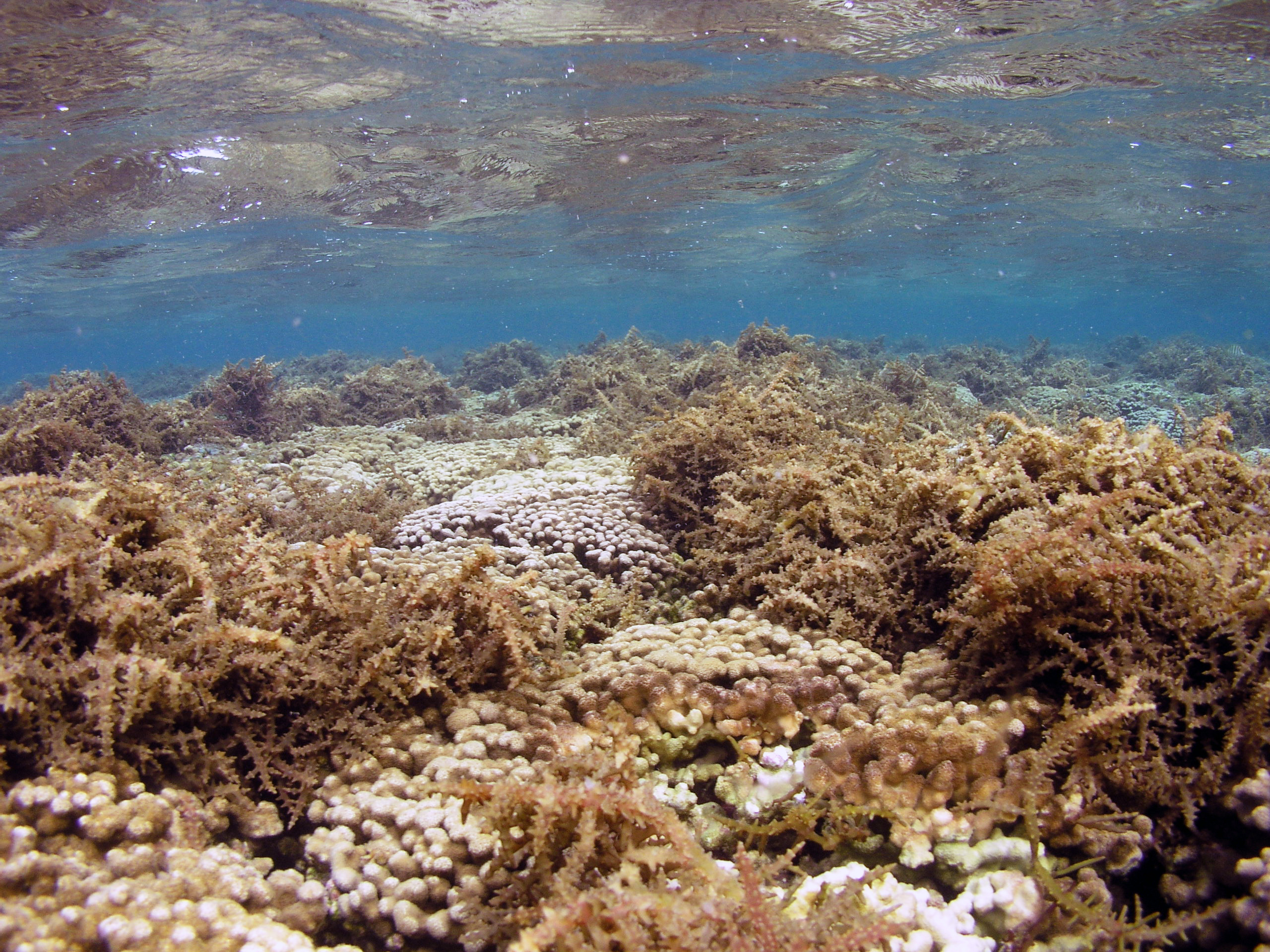 underwater image of Kaneohe Bay reef