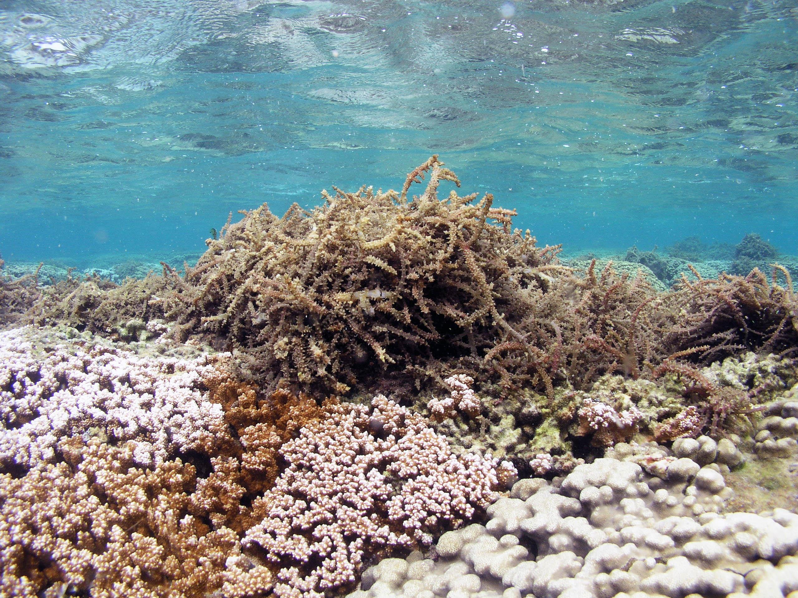 Green Polyp Leather Coral  aquariumcreationsonlinenet