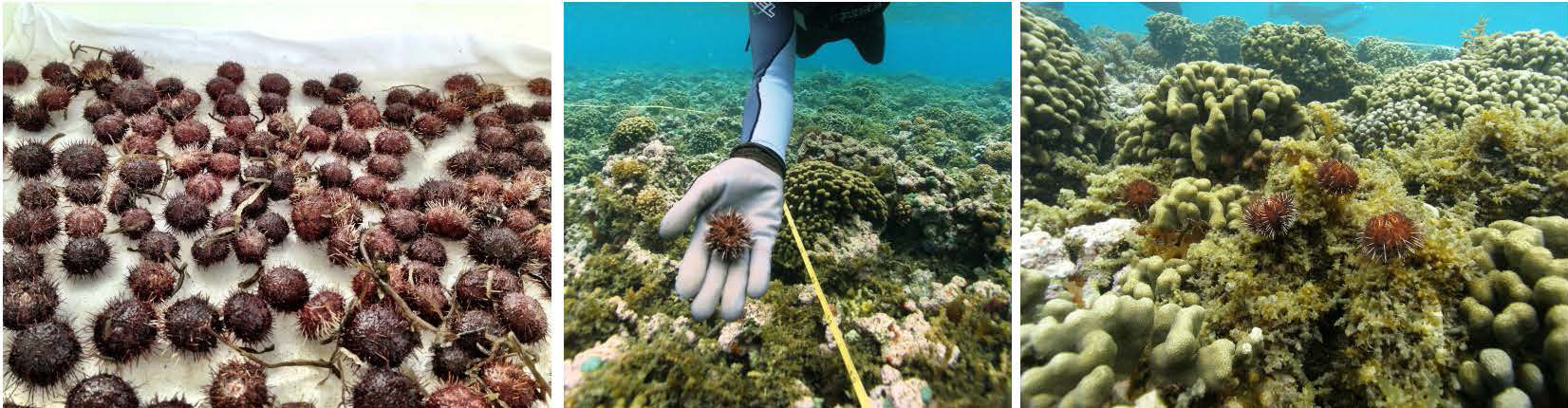 Urchin release sequence