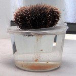 Female sea urchin releasing her eggs into a container.