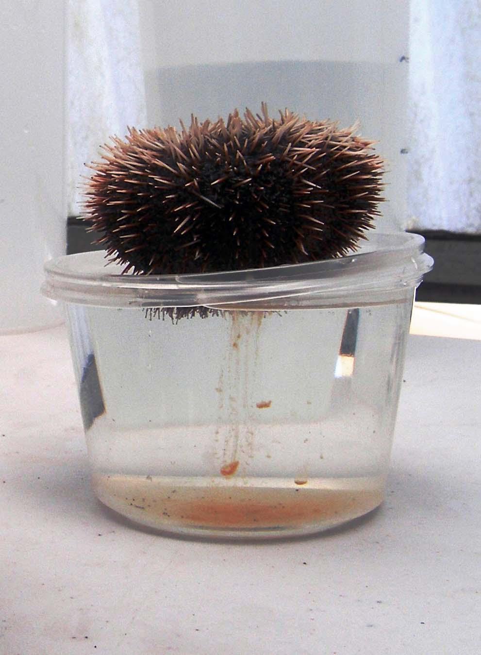 Aquatic Invasive Species Sea Urchin Hatchery