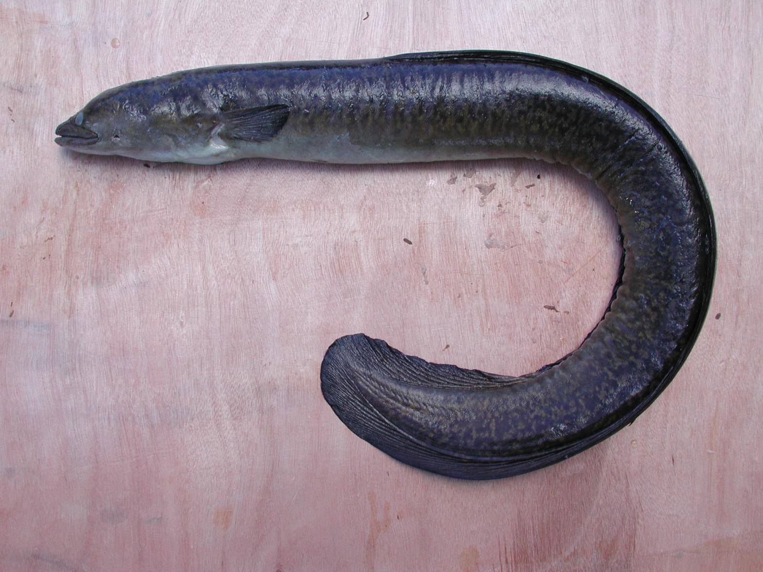 Aquatic Invasive Species | Freshwater Eel