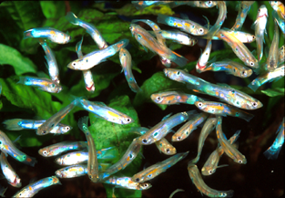 aquatic invasive species guppies
