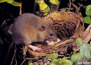 rat-in-nest1-jack-jeffrey