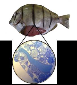fish gonads