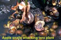 Apple snails attacking taro plant