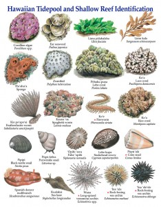Posters of Hawaiian Tidepool and Shallow Reef Identification