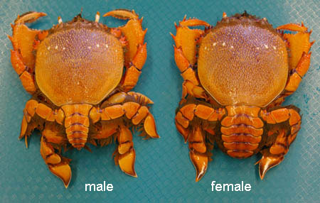 Difference of male and female Kona Crab
