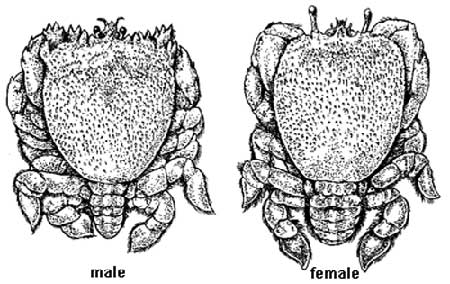 Difference of male and female Kona Crab in illust