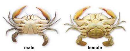 Difference of male and female Samoan Crab