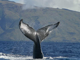 Picture of humpback flukes