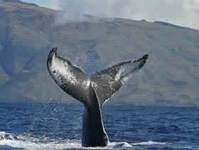 Picture of humpback flukes