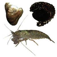 Hihiwai, Hapawai, and 'Opae kala'ole