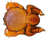 Kona crab