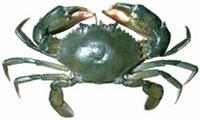 Samoan crab