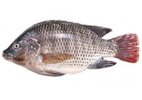 Division of aquatic resources other introduced fishes for Is tilapia a bottom feeder fish