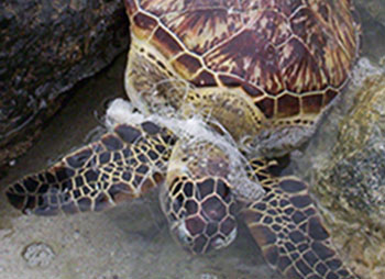 turtle entangled with fishing line