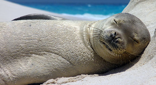 sleeping seal image