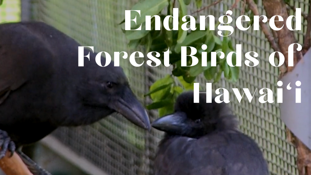 Video: Endangered Forest Birds of Hawaiʻi