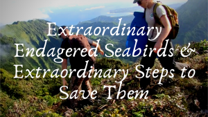 Video: Extraordinary Endangered Seabirds and Extraordinary Steps to Save Them