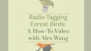 Thumbnail for the video Radio Tagging Forest Birds a How To Video with Alex Wang