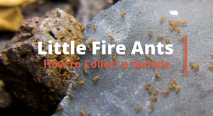 Video thumbnail for Little Fire Ant collection instructions