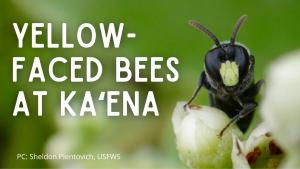 Video thumbnail for Yellow-faced bees at Kaʻena
