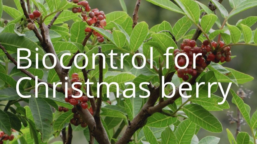 An image of Christmas berry linking to a storymap on Christmas berry biocontrol