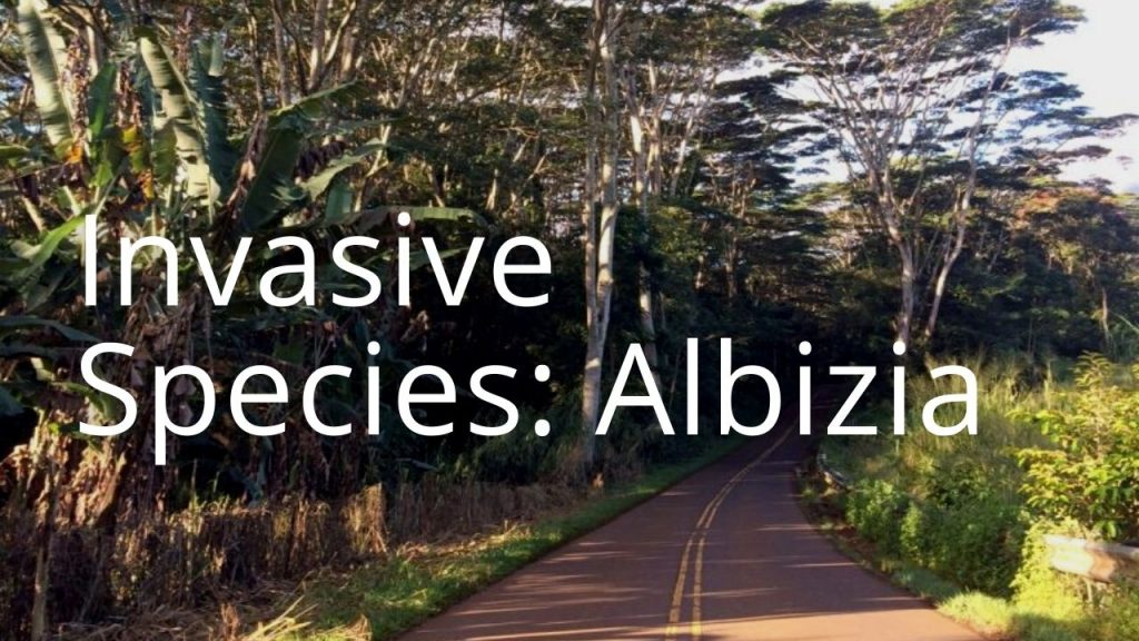 An image of albizia trees along a road linking to a storymap on albizia