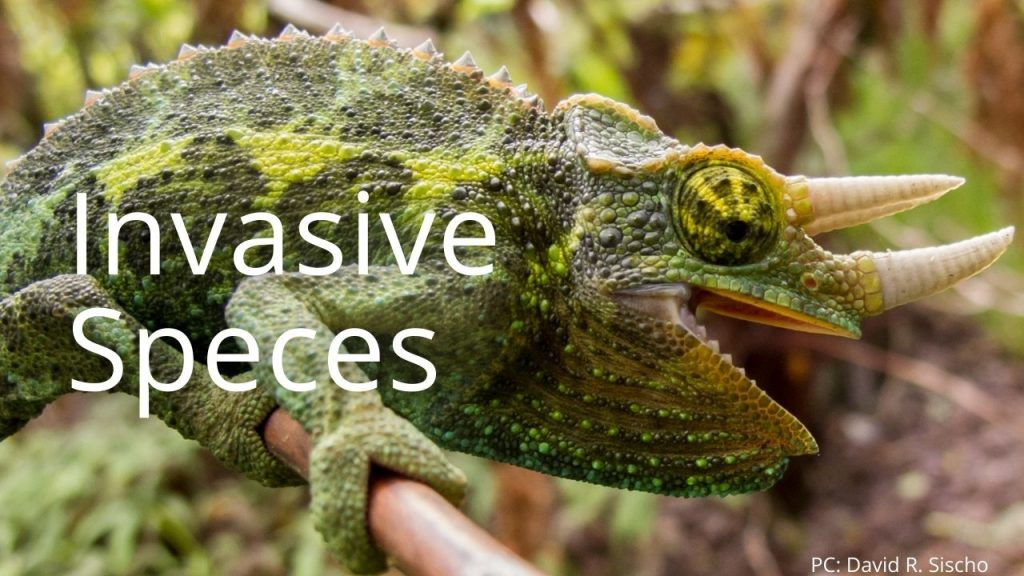 An image of a Jackson's Chameleon linking to invasive species profiles