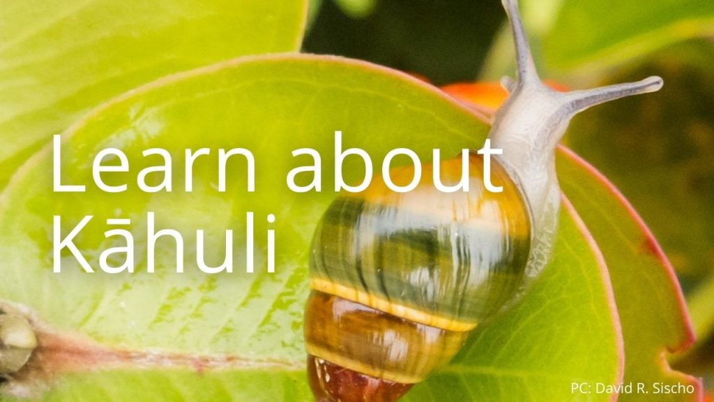 An image of a kāhuli linking to an educational page about kāhuli