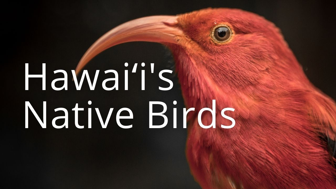 An image of an iʻiwi linking to a page on Hawaiʻi's native birds