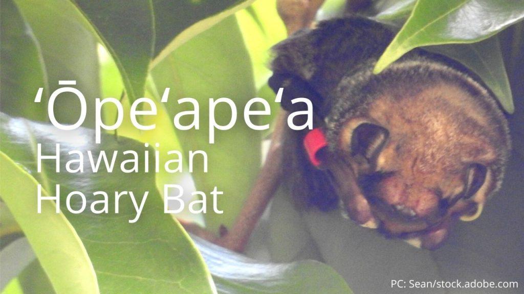 An image of a ʻŌpeʻapeʻa