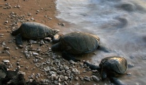 Turtles on beach