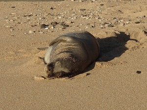 Monk seal on beach