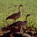 Nene geese