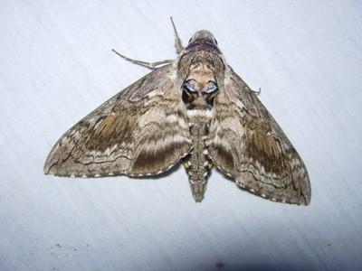 Blackburn's Sphinx Moth