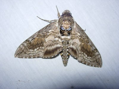 Blackburn's Sphinx moth adult from Makawao, Maui