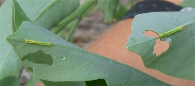 Blackburn's Sphinx moth larvae 1st instars