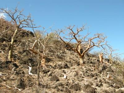 Dead wiliwili trees at Makua Keaau Forest Reserve