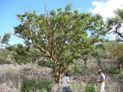 Healthy wiliwili tree at Ulupalakua Ranch
