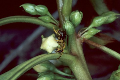 Hylaeus longiceps on Myoporum