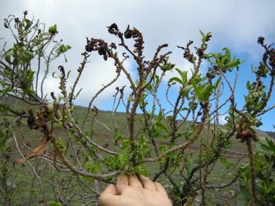 Naio - Branch dieback