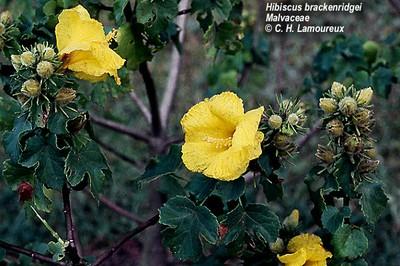 West Maui Hibiscus brackenridgei