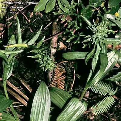 West Maui Platanthera holochila