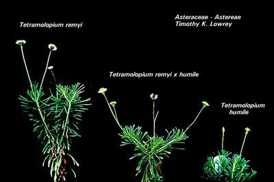 West Maui Tetramolopium remyi