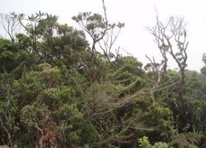 'Ohi'a-dominated forest near Hono O Na Pali NAR, Kaua'i, that has been nominated as a natural area reserve.