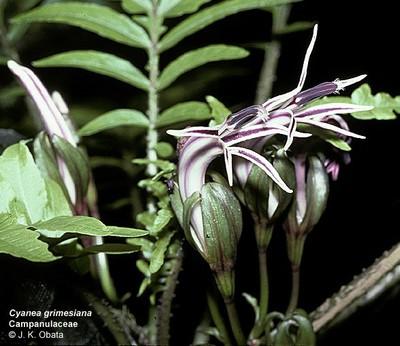 Cyanea grimesiana ssp grimesiana