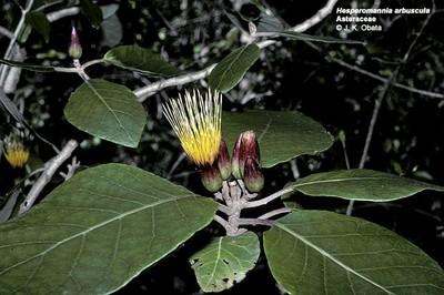 Hesperomannia arbuscula