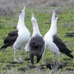 albatross kaena 2